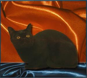 The Australian Bombay Originated As A Hybrid Between The Burmese And The British Shorthair 猫 品種 京都