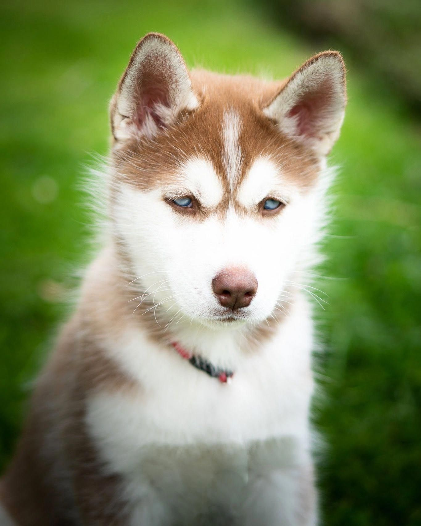All About Intelligent Siberian Huskies Personality