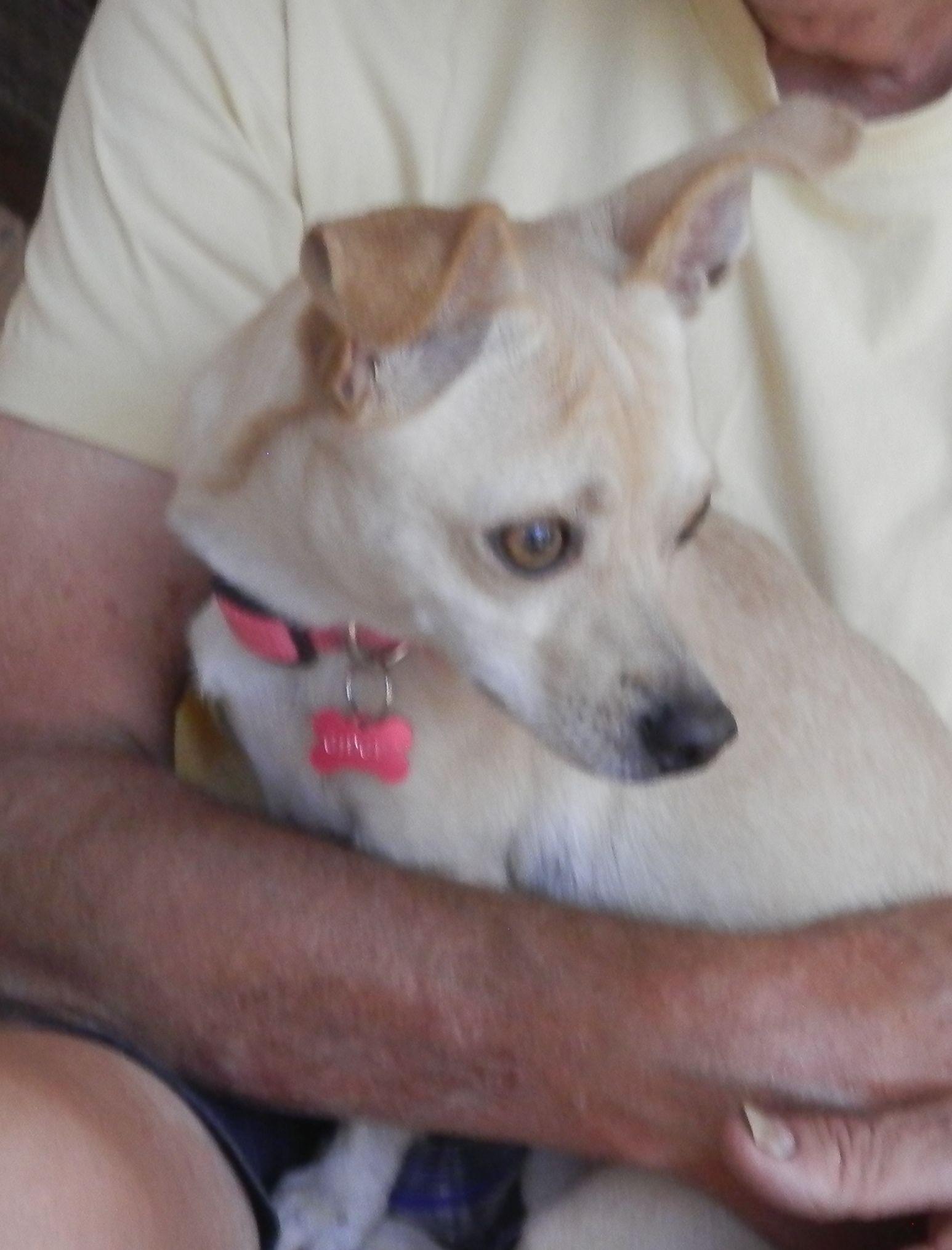 Adopt Gidget on Chihuahua dogs, Humane society, Chihuahua