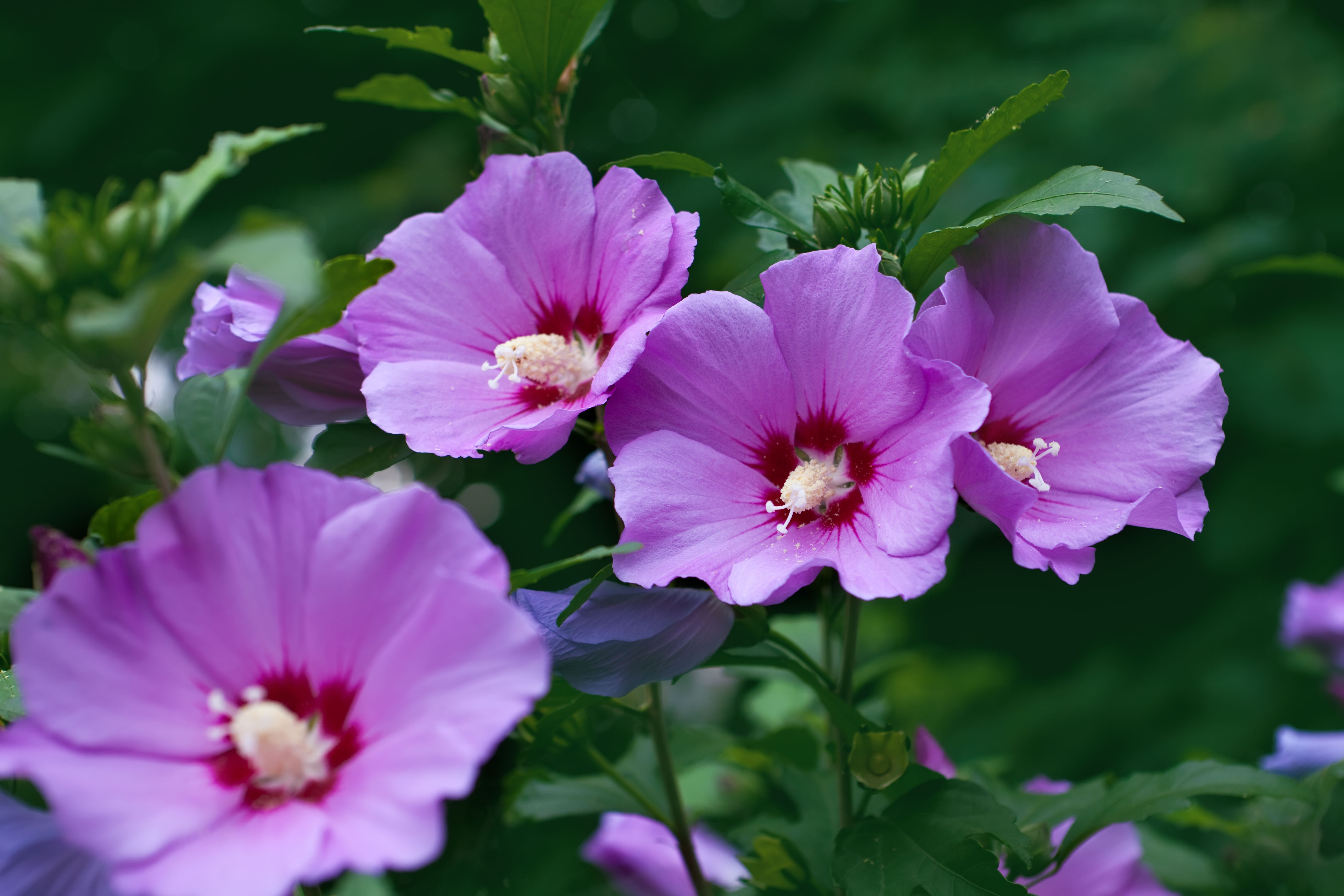 Pin by charles viancin on inspiration hibiscus pinterest hibiscus purple flower names izmirmasajfo