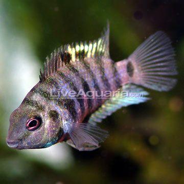 Black Convict Cichlid Cichlids Cichlid Fish Freshwater Fish