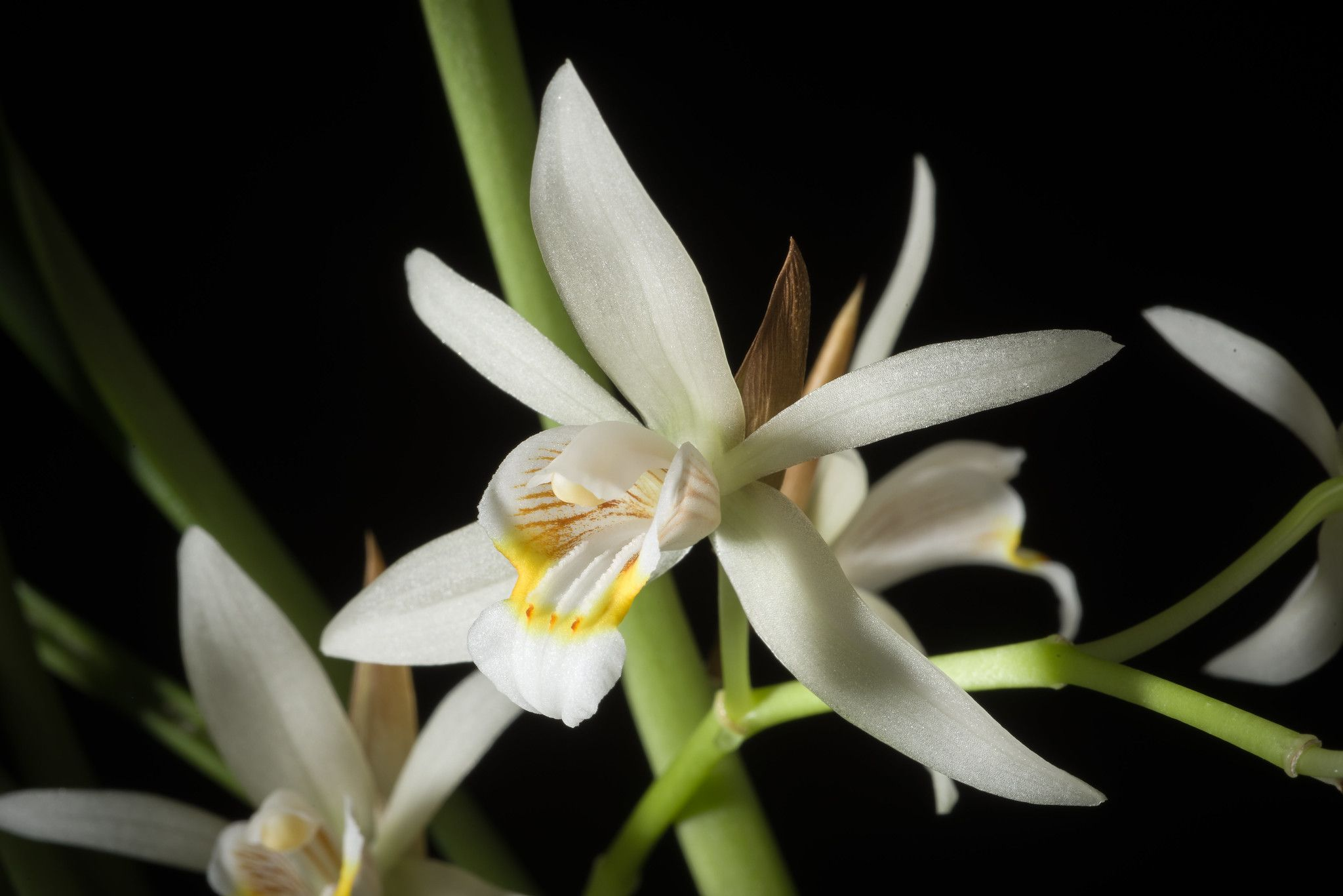 China Coelogyne Flaccida Lindl Gen Sp Orchid Pl 39 1830 Orchids Rare Orchids Epiphyte