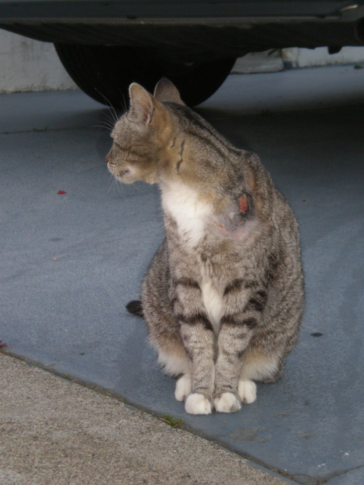 A Gray Tabby Cat With Injuries To Its Left Shoulder Cats Abyssinian Cats Grey Tabby Cats