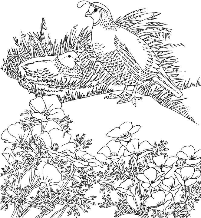 California Valley Quail Coloring Page Purple Kitty Bird