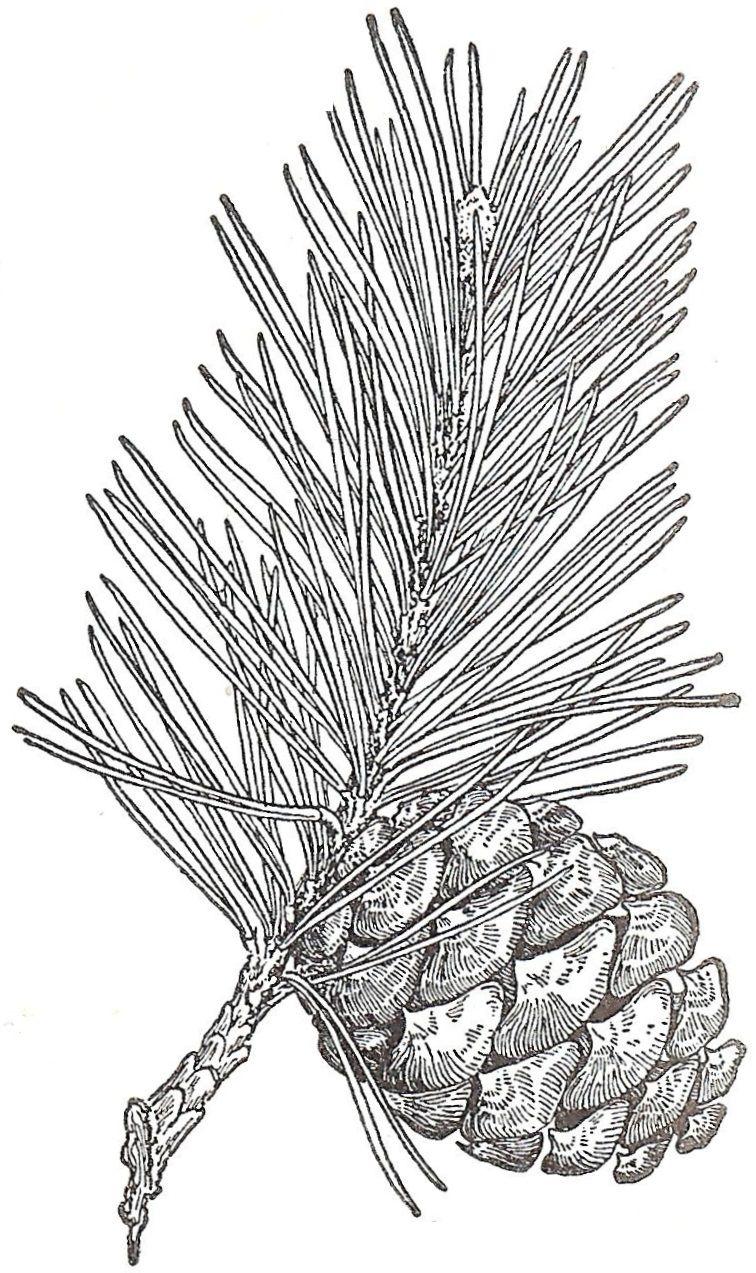 Antique Graphics Wednesday Evergreens And Pinecones Pine Cones Pine Cone Art Wood Burning Art
