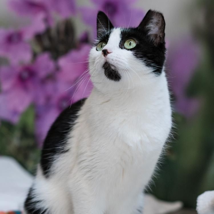 Adopt Maggie On Pretty Cats Cats Kittens Pets