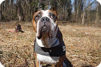 Richmond, VA Boxer. Meet Sampson, a dog for adoption