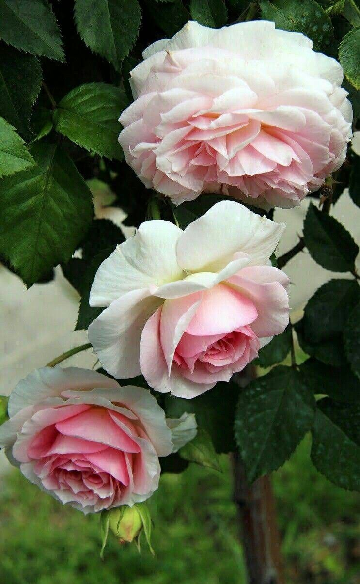 Pin by deb grams on roses for steve i love you and miss you rose flowers bright flowers pretty flowers coming up roses white roses pink roses verona beautiful gardens gardening tips rose trees garden nice izmirmasajfo