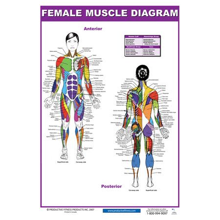 Found it at Wayfair - Female Muscle Diagram Poster in Purple