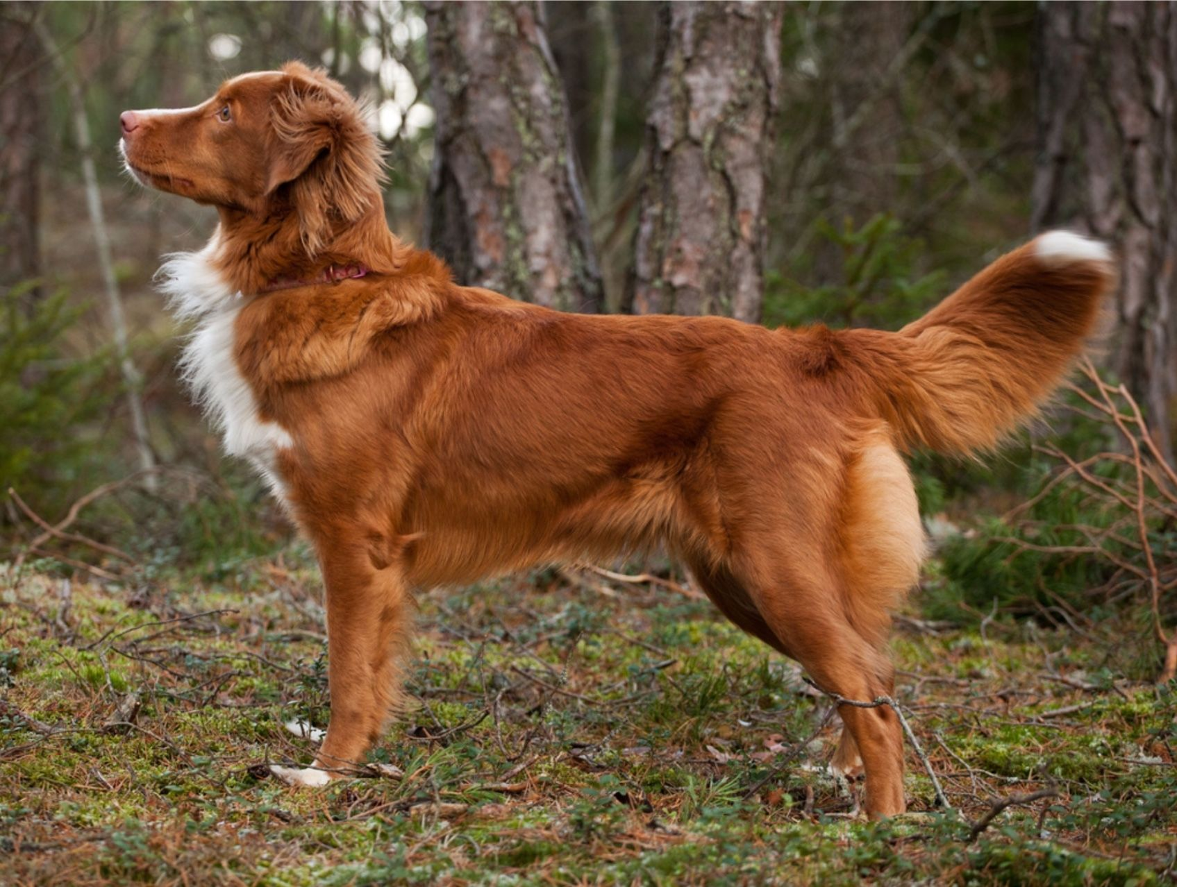 Nova Scotia Duck Tolling Retreiver The Toller Is A Medium Sized Sporting Dog Intelligent Eager To Please And High Energy The N Dog Breeds Dogs Toller Dog