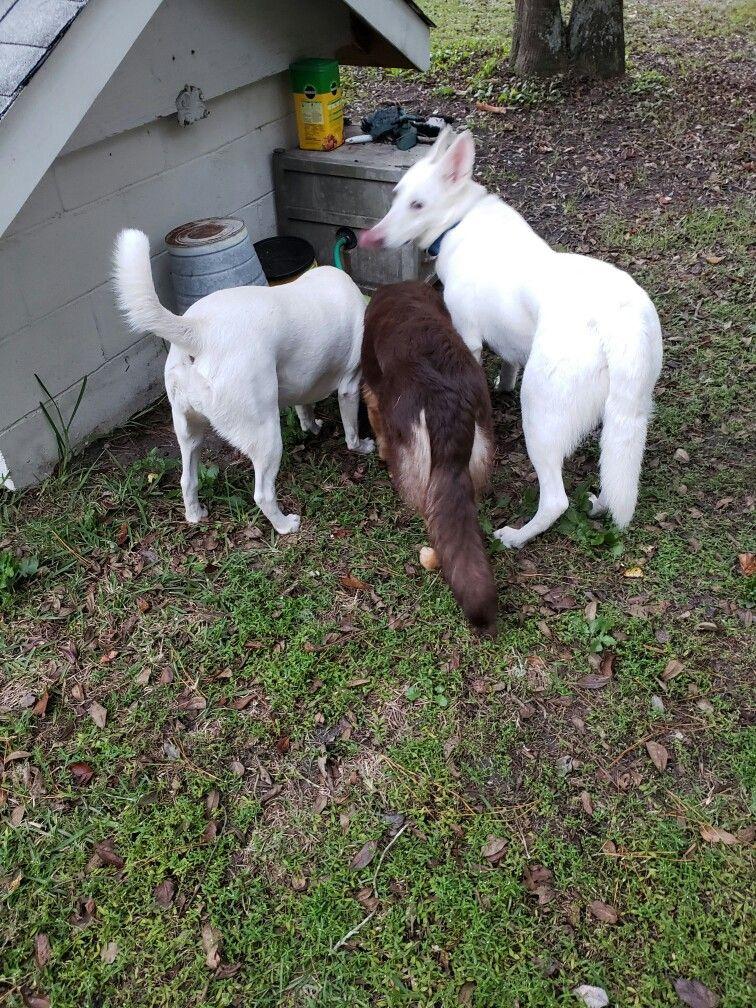 Pin By Selena Crosby On White German Shepherd Dog Never Blue Eyes