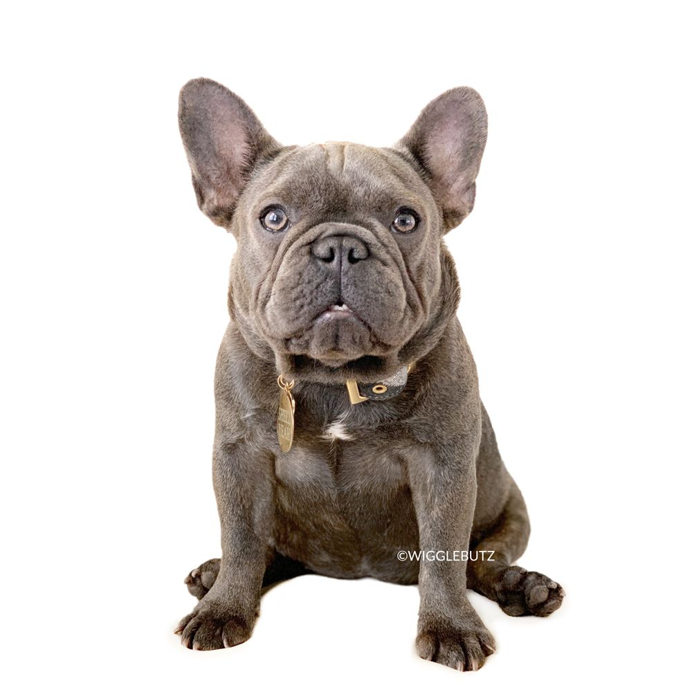 wigglebutz french bulldog puppies for sale | frenchie
