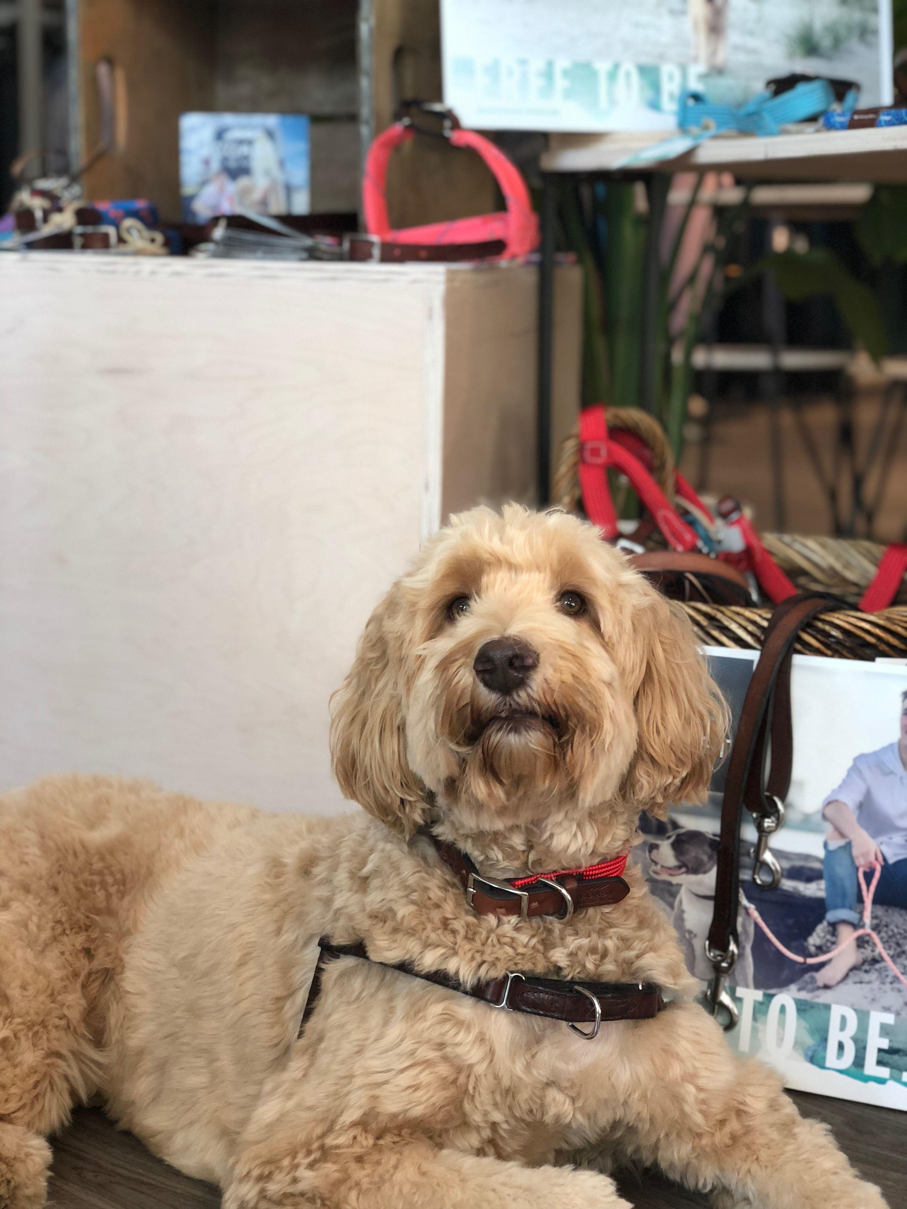 Rope Leash Leather Dog Collars Dog Harness Australian Labradoodle