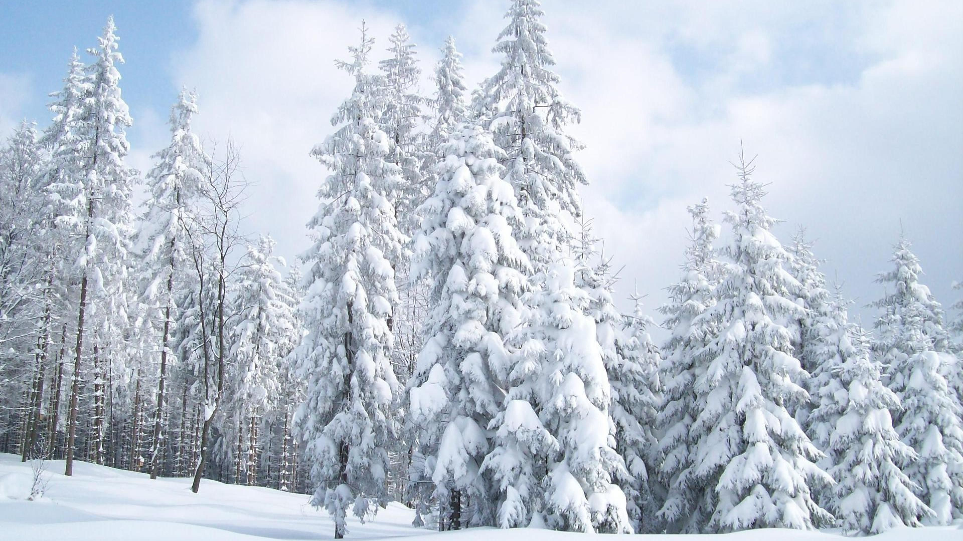 Snow On Fir Trees Wallpaper Winter Landscape Snow Images Winter Pictures