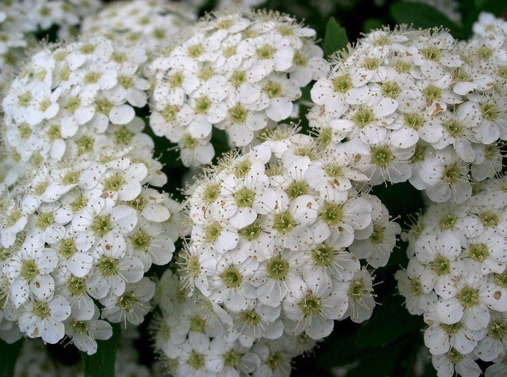 Details about 50 White CHINESE SPIRAEA Chinensis
