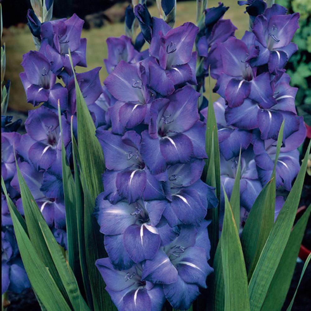 Van Zyverden Gladiolus Large Flowering Grande Passion Bulbs Set Of 12 11259 The Home Depot In 2020 Planting Bulbs Gladiolus Bulbs Bulb Flowers