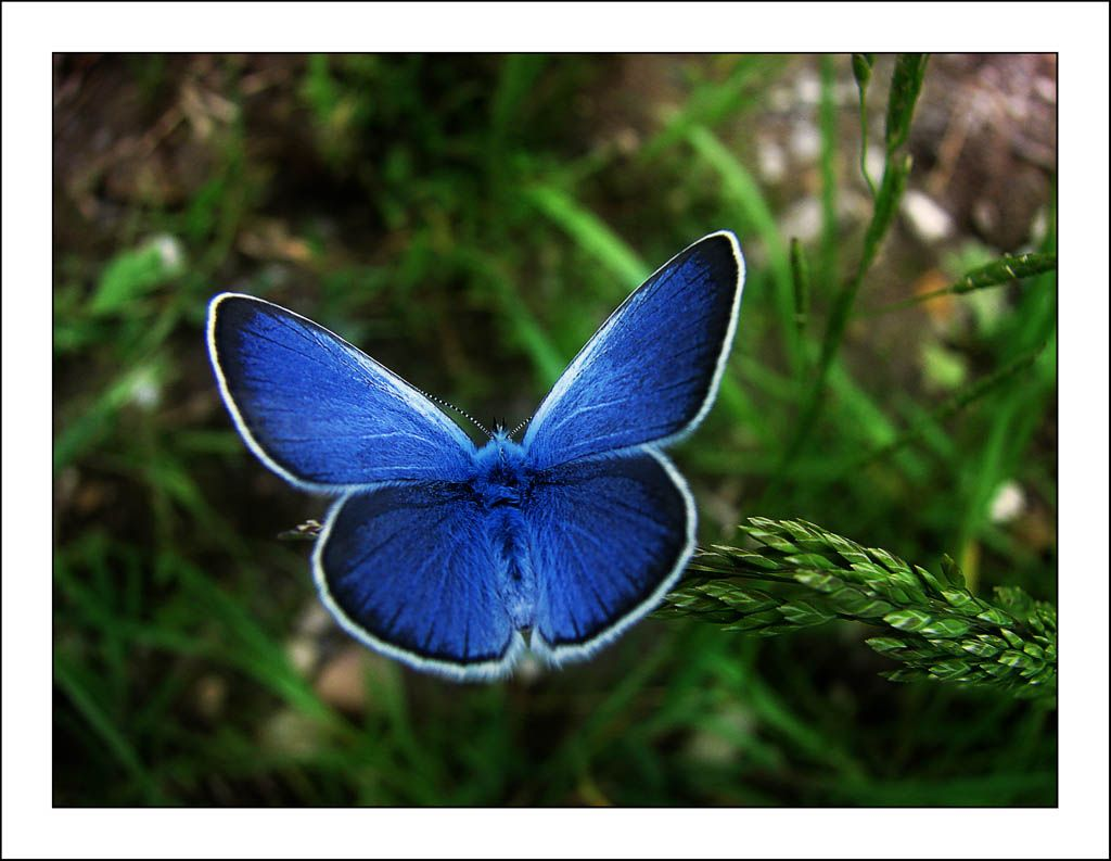 Karner Blue Butterfly  Habitat restoration efforts in