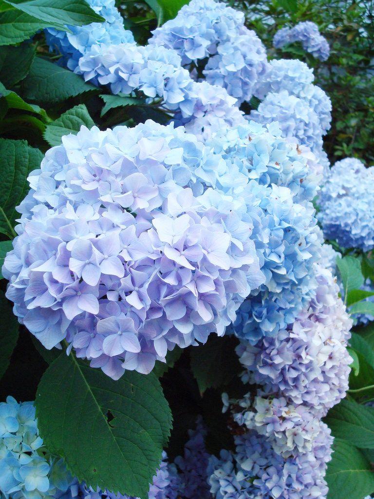 Hydrangea With Images Beautiful Hydrangeas Hydrangea Flower Fairy Garden Fence