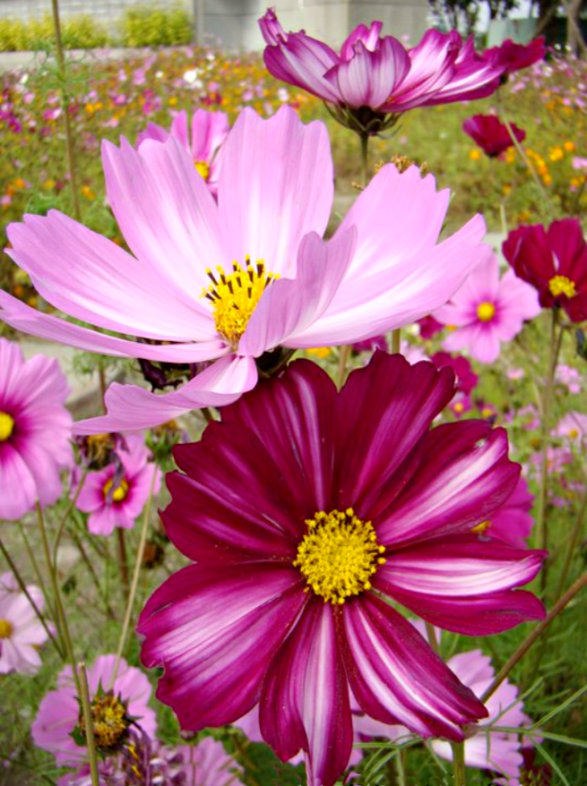 Cosmos Cosmos Flowers Exotic Flowers Flower Festival
