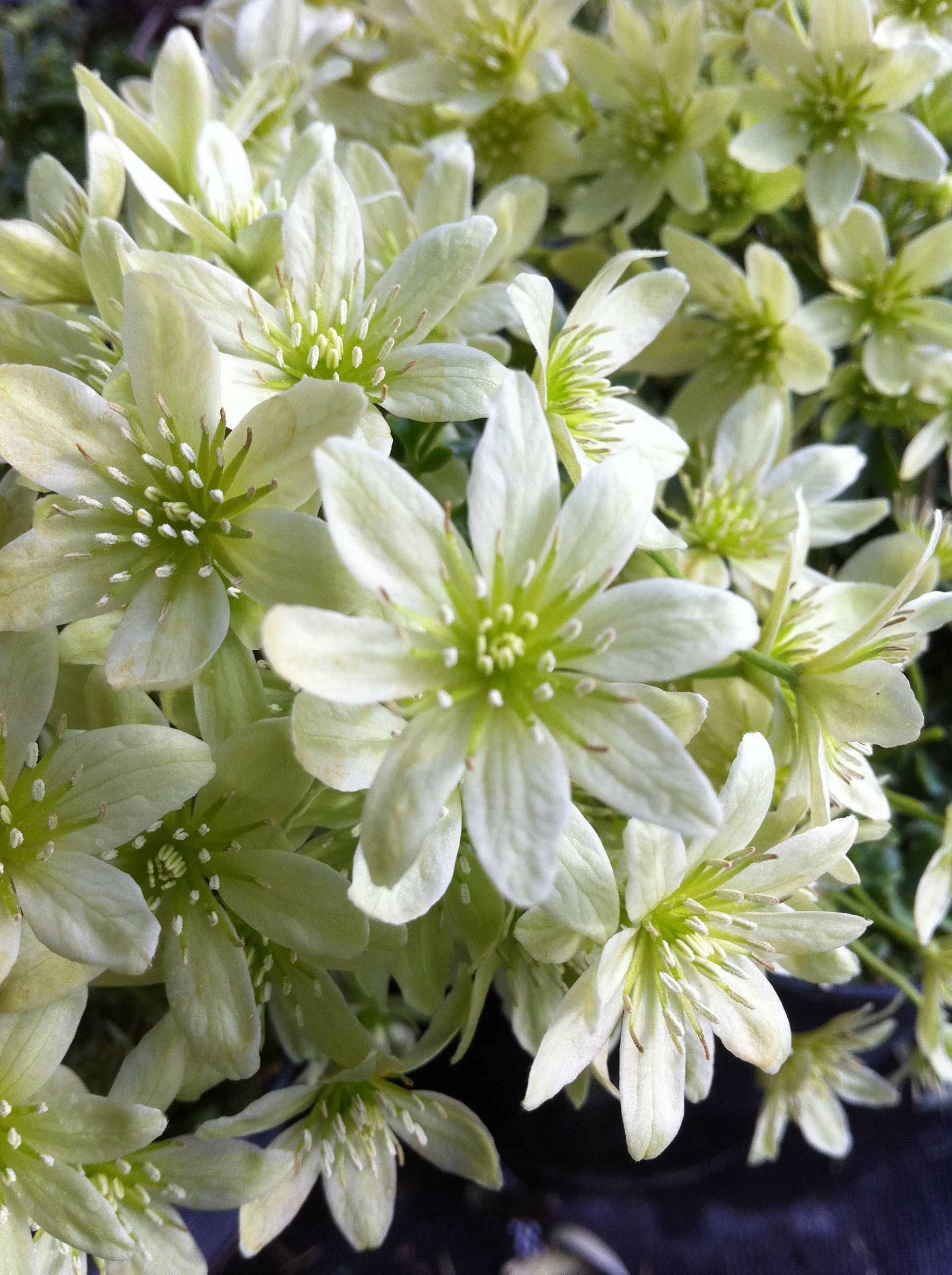 Clematis Lunar Lass flowers Pinterest Clematis Flowers and Plants