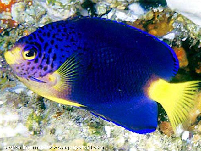 Centropyge Debelius Ange Nain Bleu De Maurice Rare Fish Saltwater Fish Tanks Sea Fish