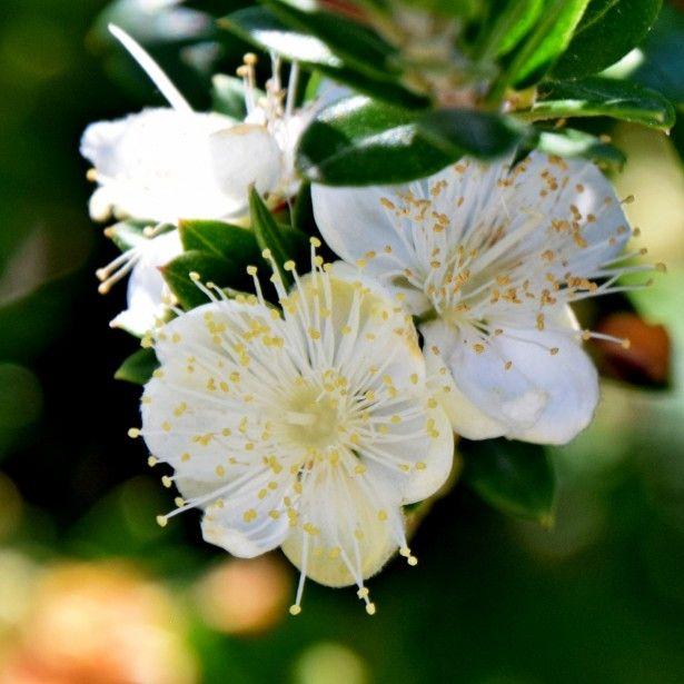 myrtus communis subsp tarentina myrte commun broderie 1 pinterest arbuste arbuste. Black Bedroom Furniture Sets. Home Design Ideas