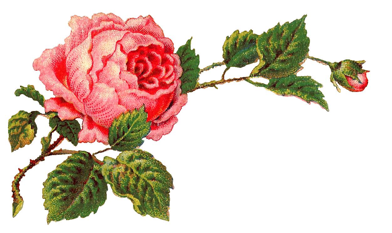 Antique Images Free Digital Flower Label Pink Rose Clip Art And