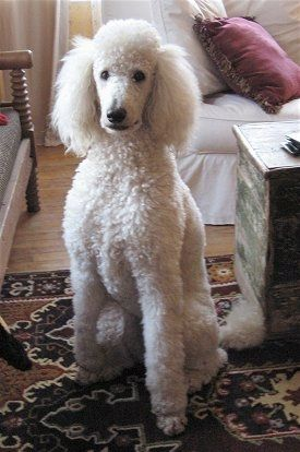 Front view - A curly coated, white Standard Poodle dog sitting on a rug looking forward. There is a wooden chest to the right of it and a chair to the left of it. The dog has dark, round black eyes and a black nose.