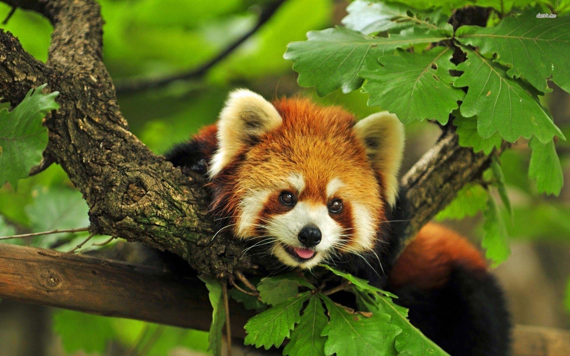 Red panda, they're sooo cute! >w