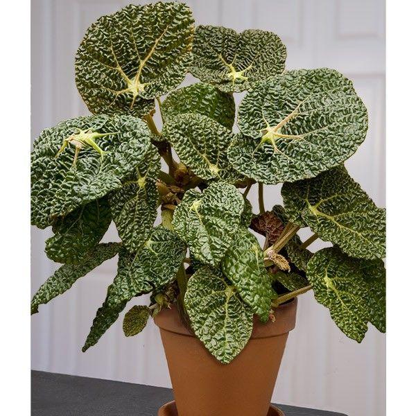 Crinkle Leaf Begonia Begonia Moysesii Begonia Plants Bonsai Flower