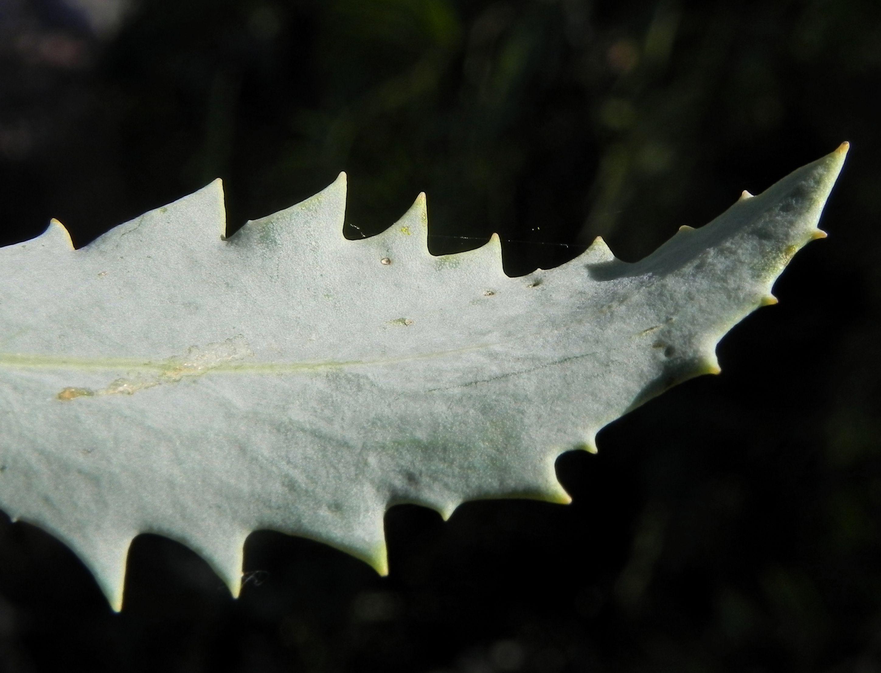 Showy Groundsel Bluete Gelb Senecio Magnificus Pflanzen Bilder