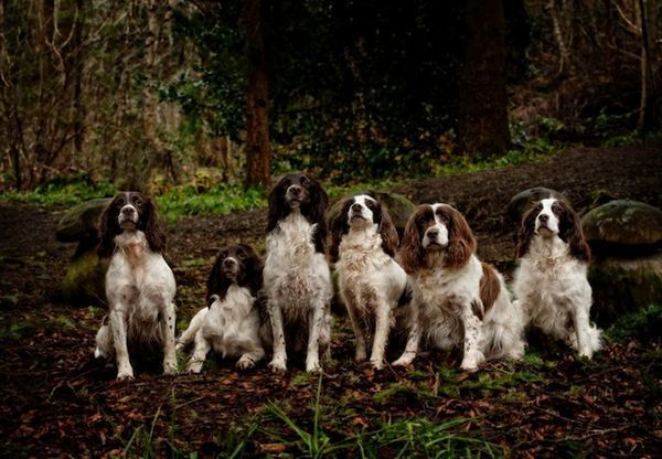 Puppies Cute Dogs Springer Spaniel Dogs