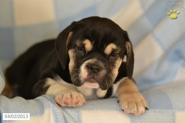 Barbie English Bulldog Mix Puppy For Sale In Loudonville Oh English Bulldog Mix Puppy For Sale Lancaster Puppies Puppies For Sale Puppies
