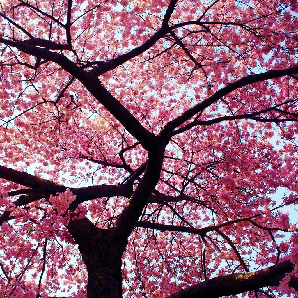 Sakura Filled With Pink Blossom Blossom Trees Cherry Blossom Festival