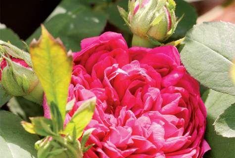 Ruusujen lisääminen - Suomela