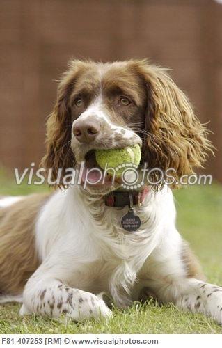 Springer Spaniel Dog Lying On Grass With Tennis Ball In Mouth Springer Spaniel Spaniel Dog Springer Dog