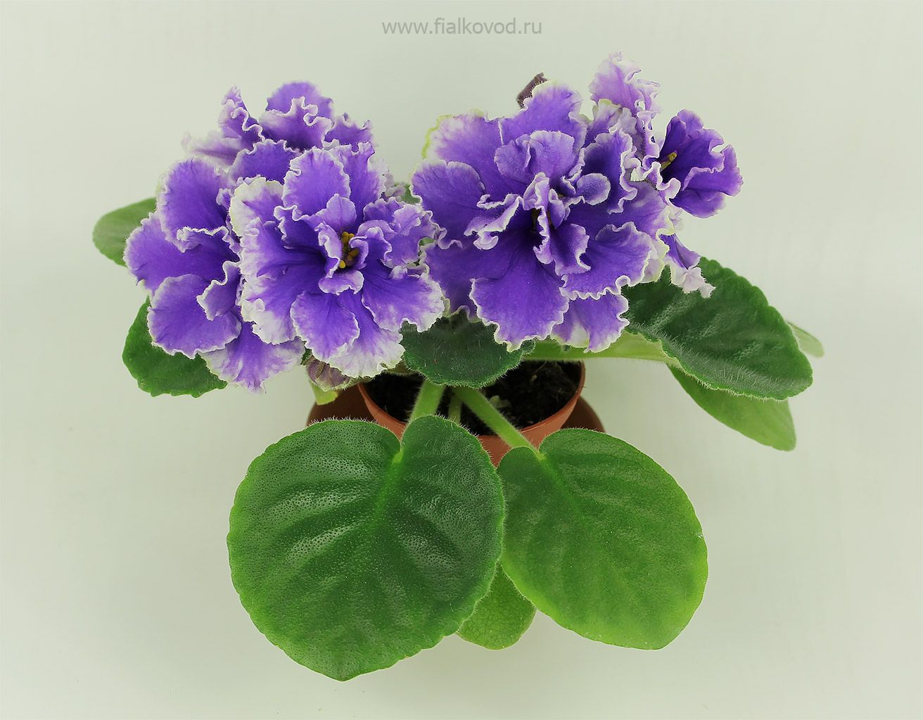 Pin on African Violets