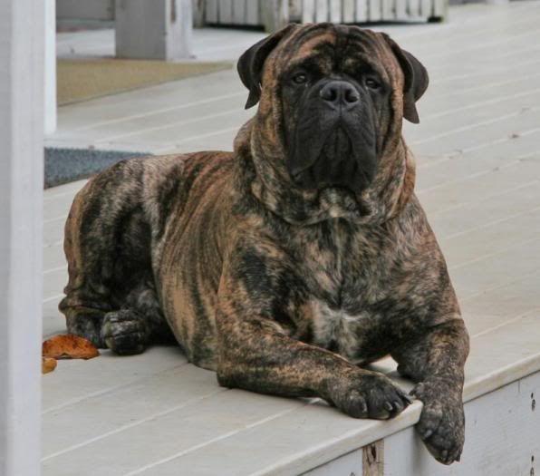 English Old Dog Bullmastiff English Bull Bulldog