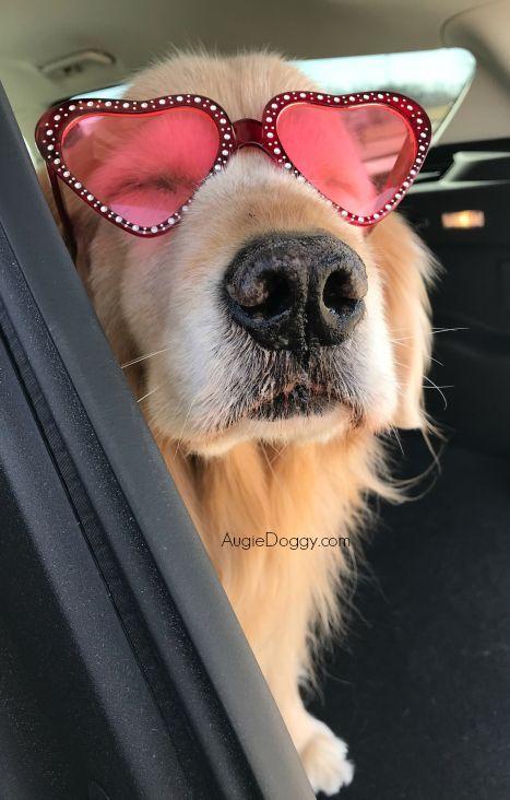It S Tough Being A Celebrity Dog Goldenretriever Glasses