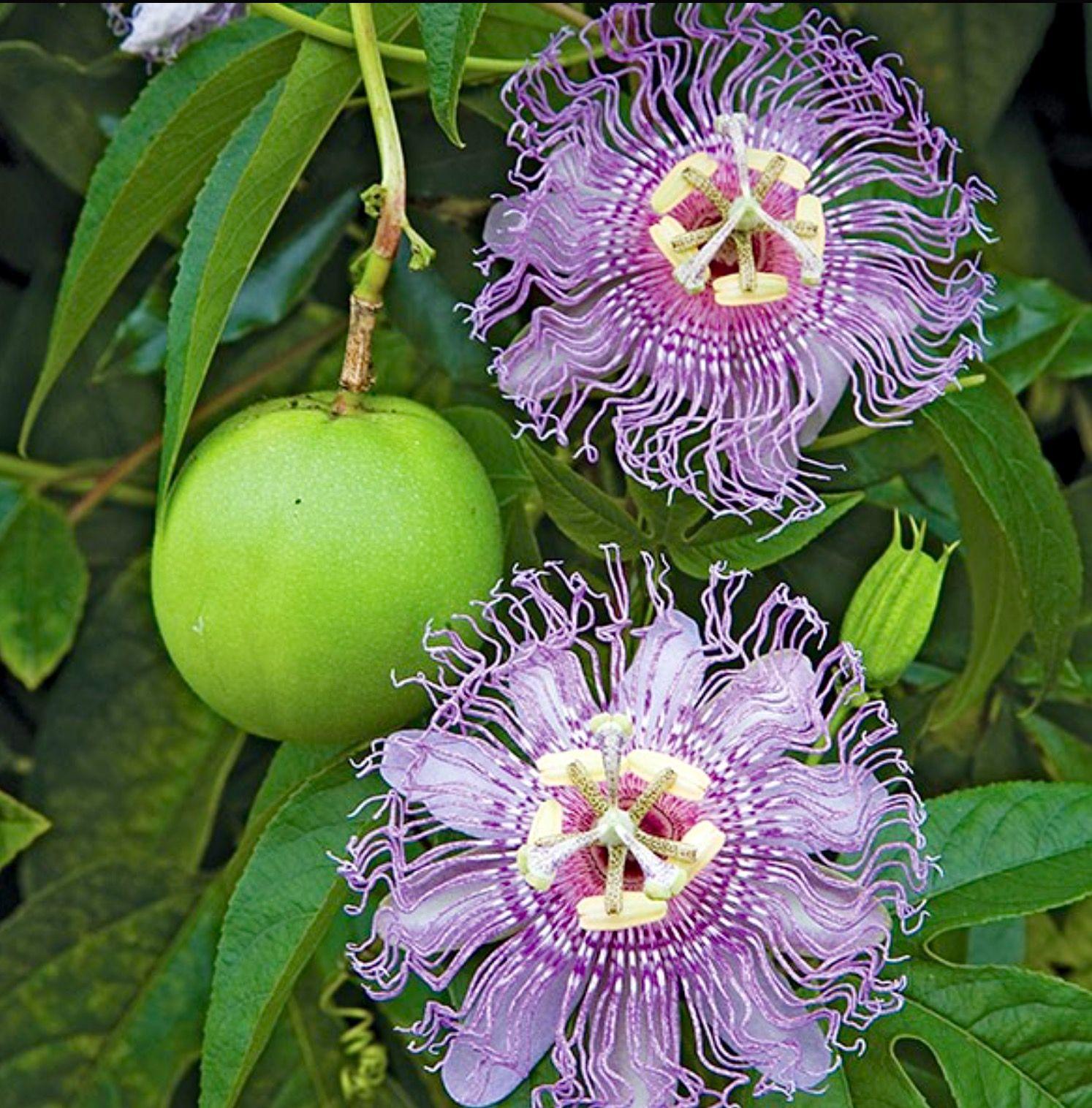 Passionflower Passiflora Incarnata Vine Edible Fruit Wildlife Attractant Flowers Passion Flower Plant Passion Flower Pollinating Flowers
