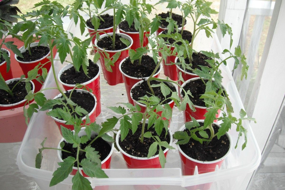 Growing Tomato Plants From Seed In