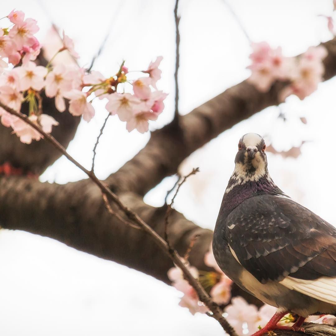spring springiscoming cherryblossom beautiful spring springiscoming cherryblossom beautiful birdwildbirdbirdwatching animalcute voltagebd Image collections