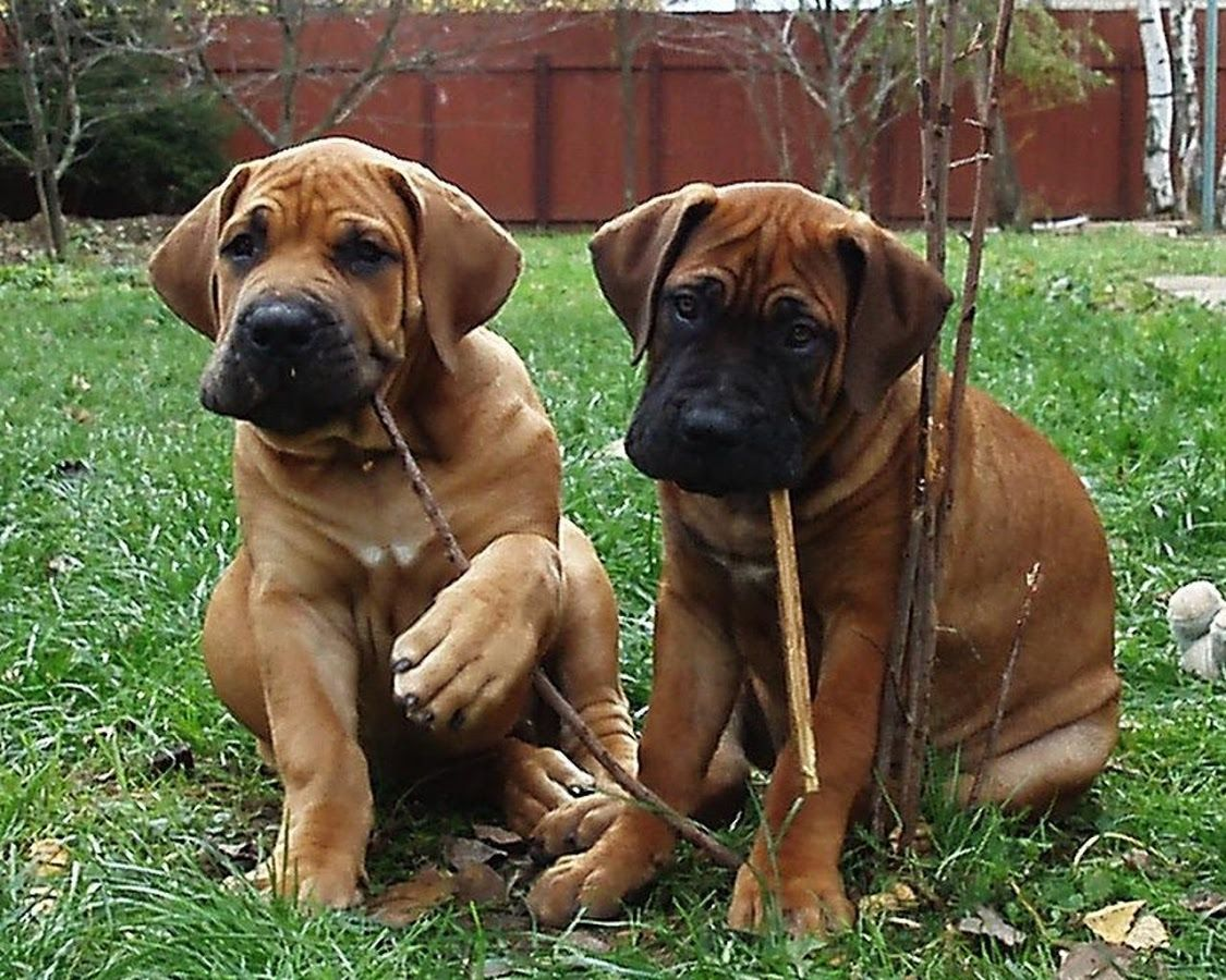 صور وخلفيات كلب بوير بويل Dogs Animals