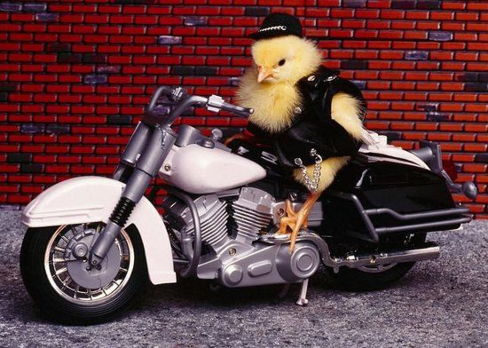 1000 Ideas About Funny Chicken Pictures On Pinterest: A #chicken On A Motorcycle! #wildwingcafe