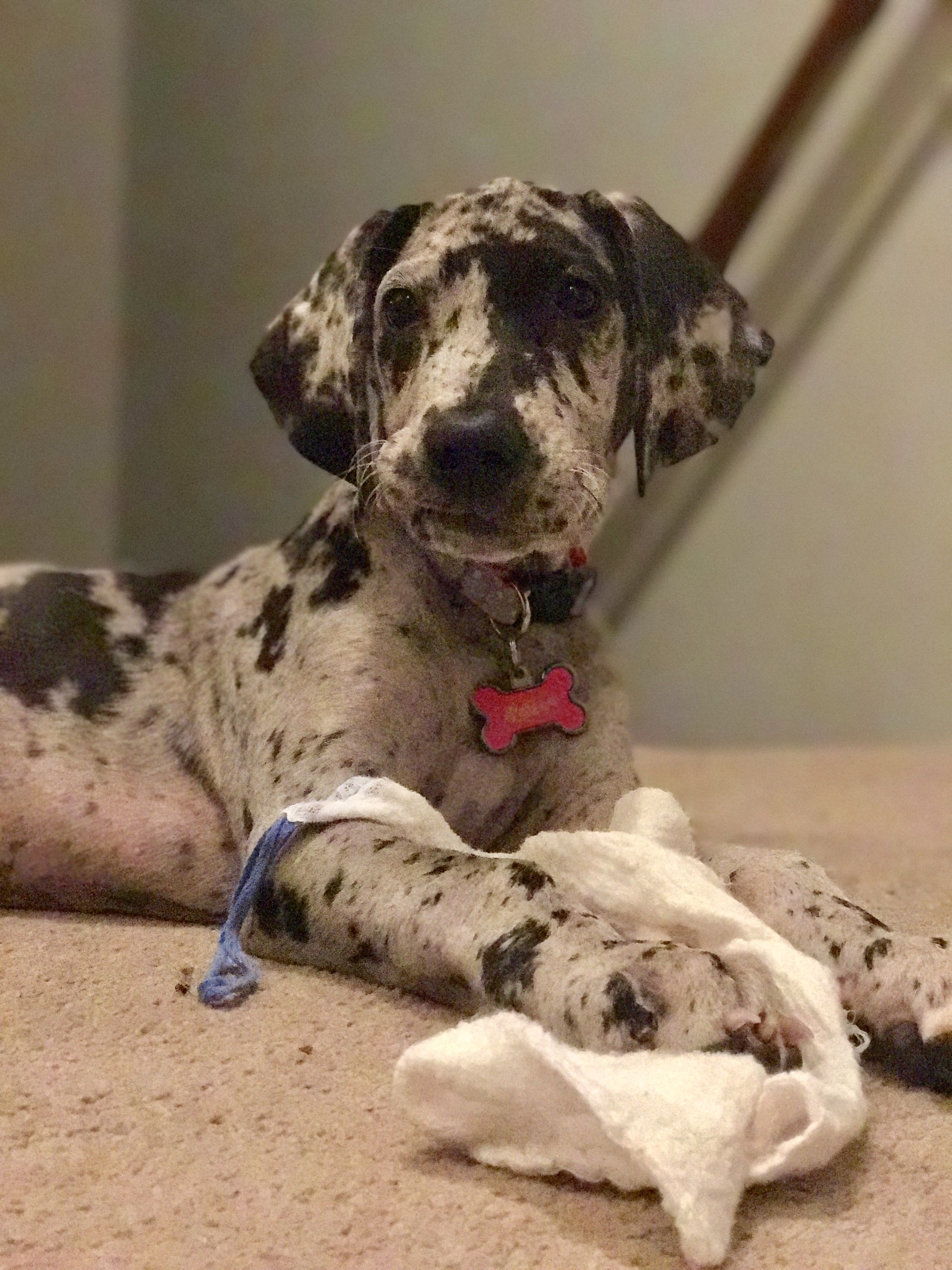 Pin By Ricky On Great Dane Animals Types Of Dogs Cute Animals