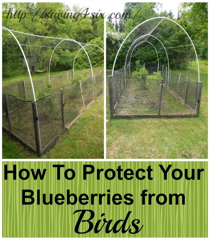 Protecting Blueberries From The Birds Saving 4 Six