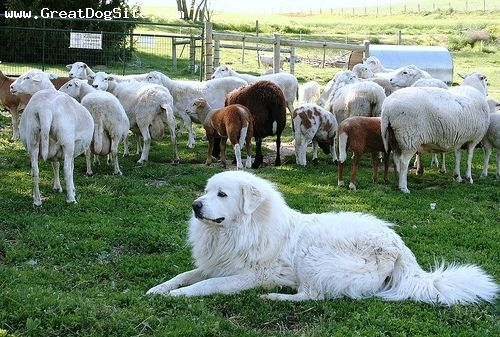 Great Pyrenees, 3 years, White, guarding the sheep