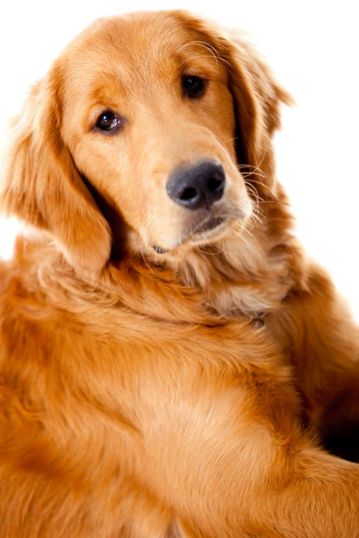 Beautiful Golden Retriever Dog Isolated Over A White Background