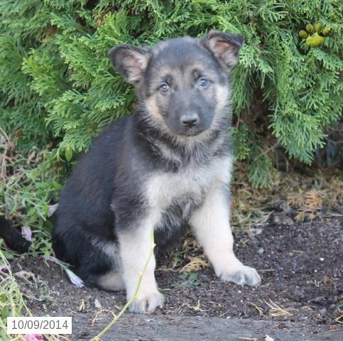 German Shepherd Puppy For Sale In Pennsylvania 400 Puppies