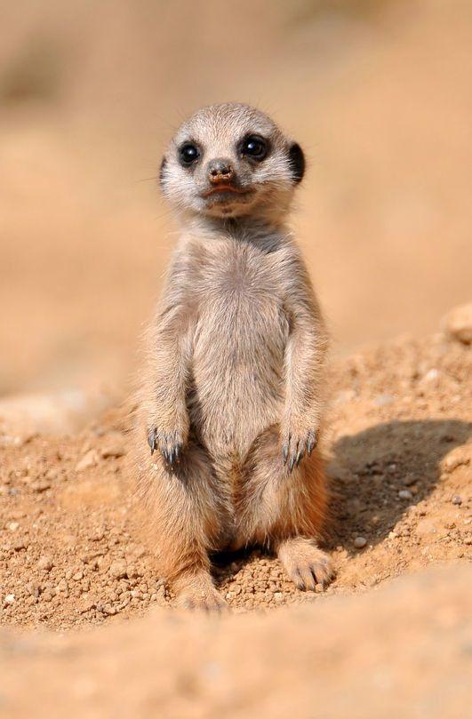 キュートすぎるミーアキャットの赤ちゃんの写真20枚 美しい動物 ミーアキャット 動物